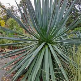 Angustissima, Botanic garden, Christchurch