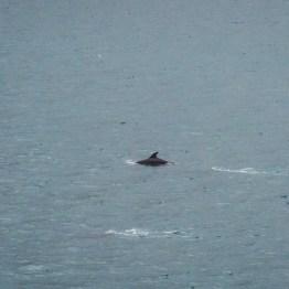 Cook strait, dolphine