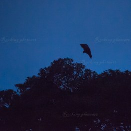 The Royal Botanic Garden, flying fox