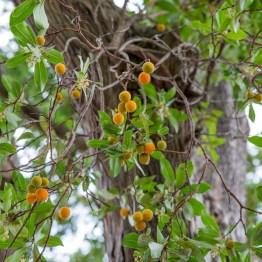 Strawberry tree, Botanic garden, Christchurch