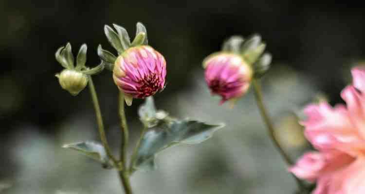 How to Grow Beautiful Large Dahlias