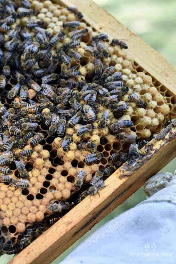 Honey Bee Brood