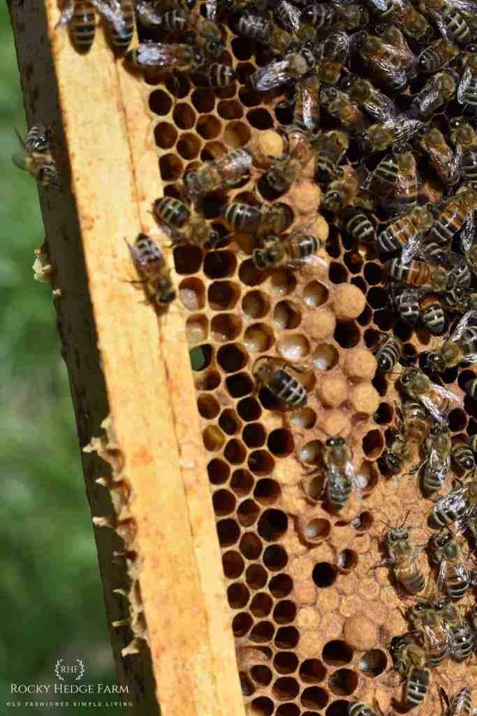 Honey Bee Larva on Frame