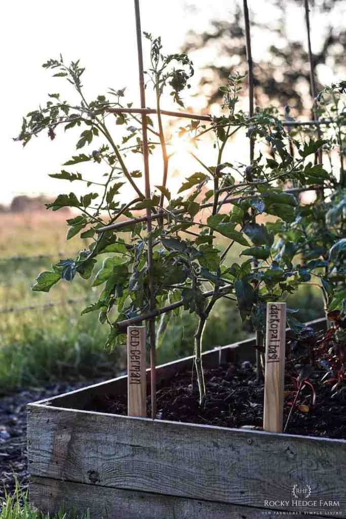 Old German Tomato Plant
