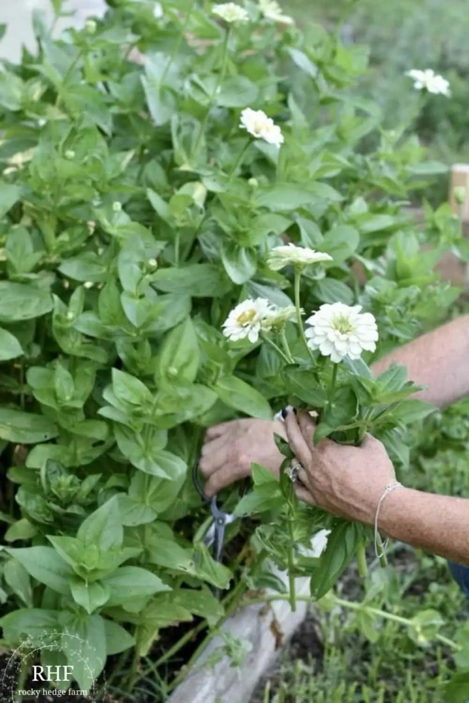 planting and growing zinnias
