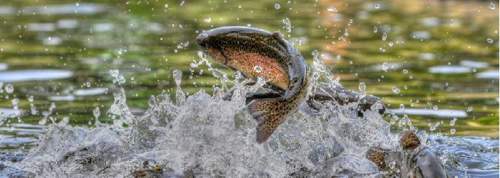 Colorado Trout