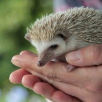 Eric Prickles the African Pygmy Hedgehog