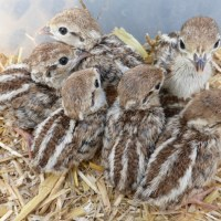 Partridge chicks growing up ready for Christmas fetes
