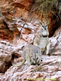 Rock Wallabies on lake argyle