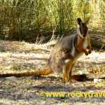 Spotting the yellow footed Rock Wallaby
