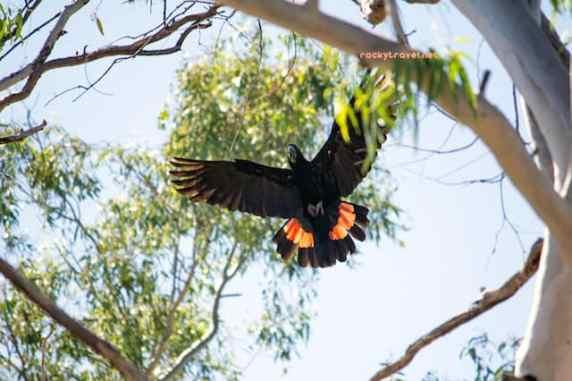 cockatoo-red-tailed-black-kimberley-australia