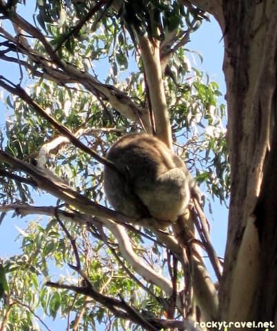kennett-river-koala-walk