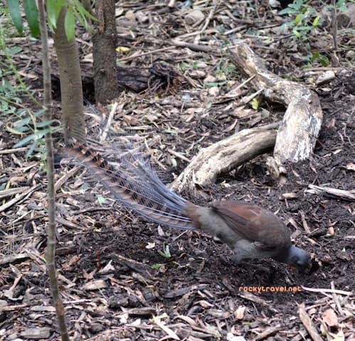 lyrebird-buchan-ca