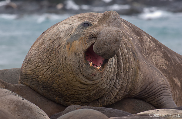 Mirounga leonine (Southern Elephant Seal)