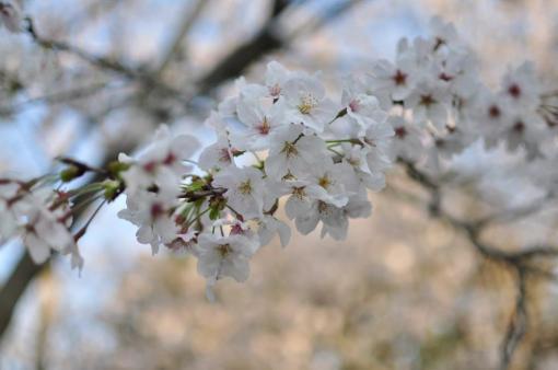 Kwitnące wiśnie Sakurajima