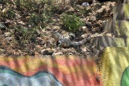 Iguana w Montezumie