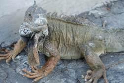 Iguany w Ekwadorze