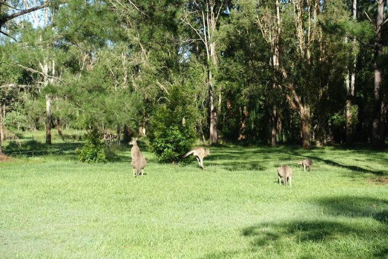 Kangury obok Brisbane