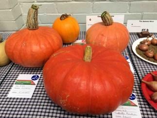 Pumpkins for pie or halloween