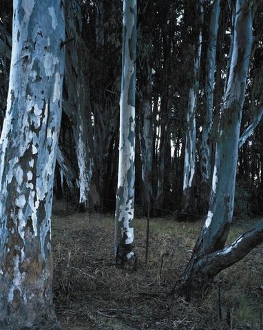 Bluegums - David Goldblatt