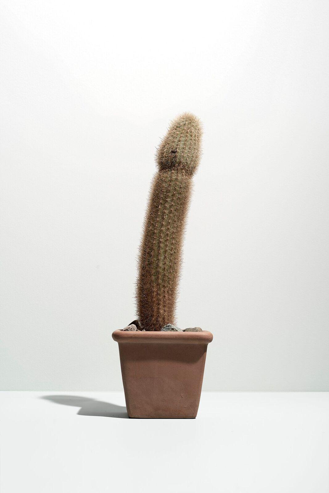 kaktus-ereksie