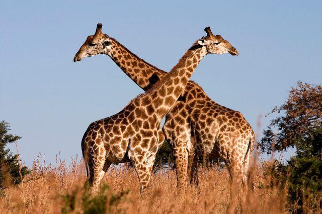 Twee kameelperde in die Ithala-wildreservaat in noordelike KwaZulu-Natal, Suid-Afrika. (foto: Luca Galuzzi, 2004)