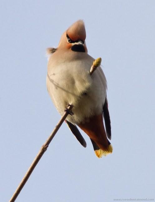 Bohemian Waxwing Bombycilla garrulus Pestvogel