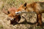 cub red fox baby vulpes vulpes young vixen Mother nurturing caring cleaning