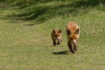cub red fox baby vulpes vulpes young Mother kid running