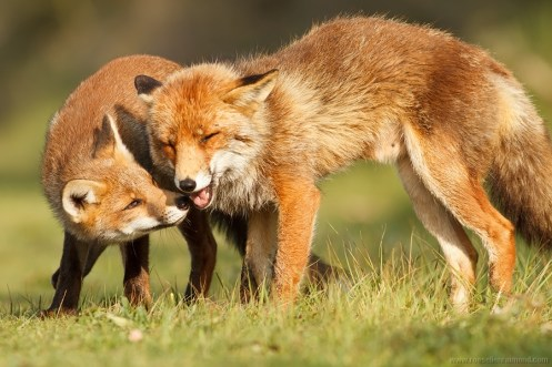 nipping begging food mother cub young red fox kit