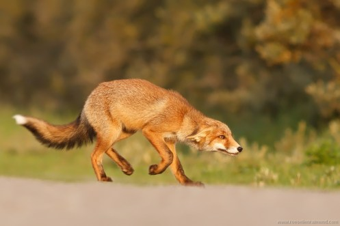 young fox submissive dominance behaviour communication body language