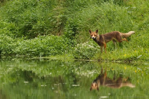 red fox vulpes vulpes vos water river reflections