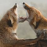red fox fight mouths agape vulpes vulpes fighting