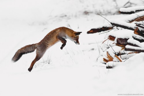 red fox hunting leaping jumping vulpes vulpes snow winter jump