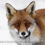 Red Fox Portrait with a prey