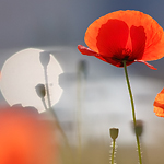 Poppies & bokeh