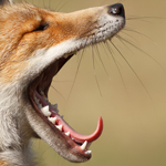 Red fox vulpes vulpes yawning