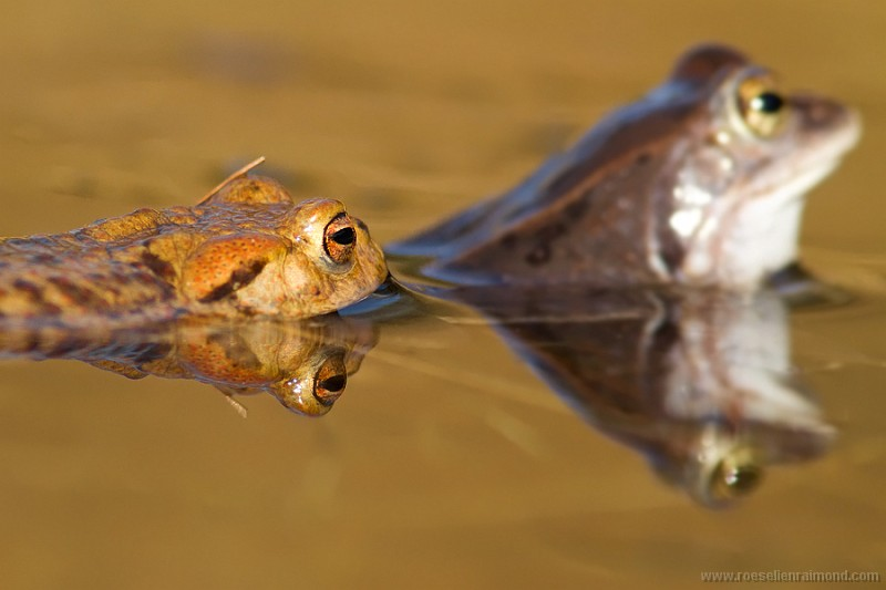 Moor Frog harassed by a Common Toad
