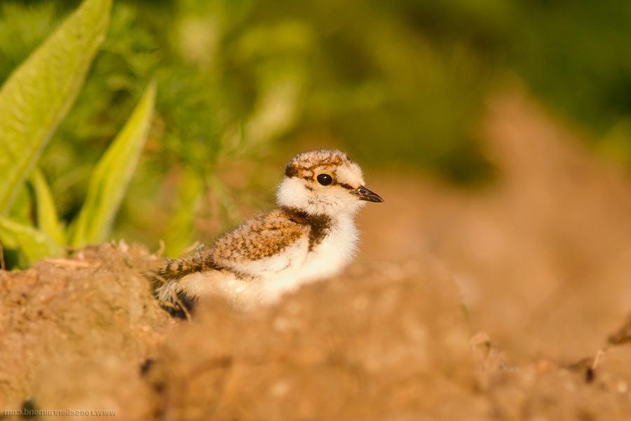 Kleine Plevier Little Ringed Plover Charadrius dubius