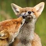 Grooming Fox - Mother and Kit