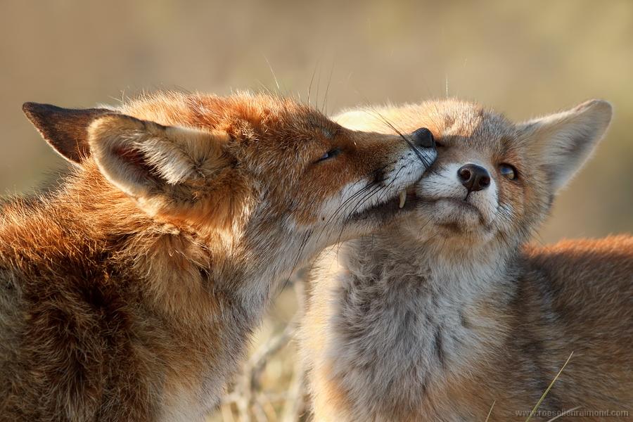 kit cub fox vulpes vulpes youngster baby grooming washing caring renard Fuchs volpe zorro kettu räv 狐狸 rubah raposa lis ثعلب лисица ræv αλεπού שועל róka refur キツネ 여우 lisica лисиця روباه líška จิ้งจอก tilki räv