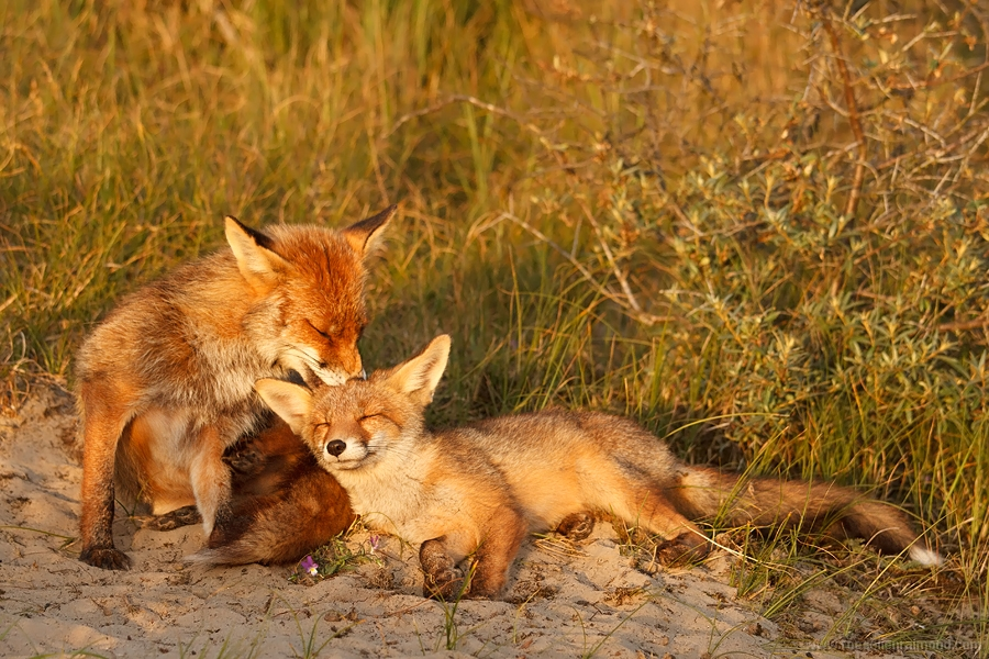 grooming foxes vixen kit youngster ticks cleaning family
