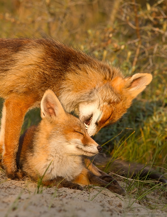 cub red fox baby vulpes vulpes young vixen Mother grooming caring cleaning