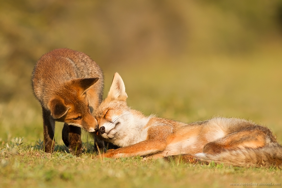 young_fox_helper