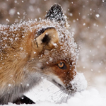 fox snow winter playing flakes cold vulpes vulpes