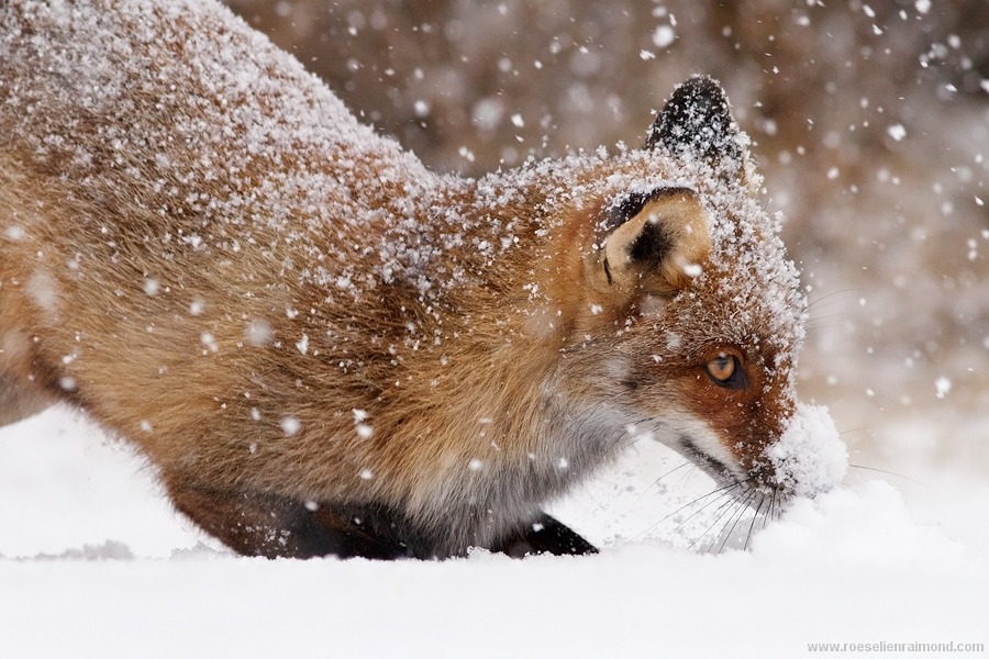 fox snow vulpes vulpes winter cold white flakes animals in the snow