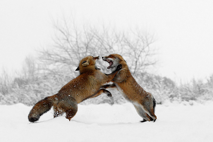 red fox vulpes vulpes fight fighting snow winter cold white
