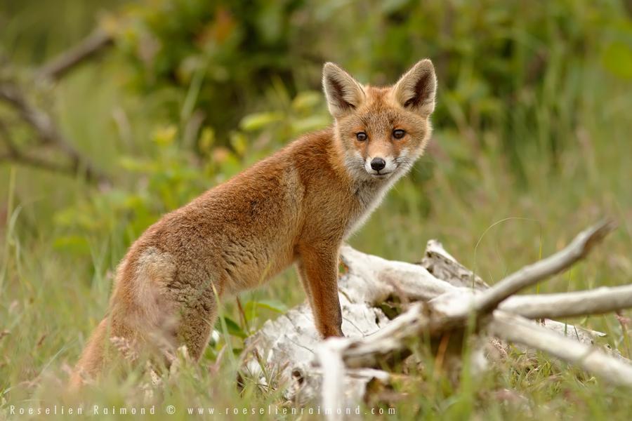 fox,kit,cub,young,young fox,red fox,vulpes vulpes,curious,tree