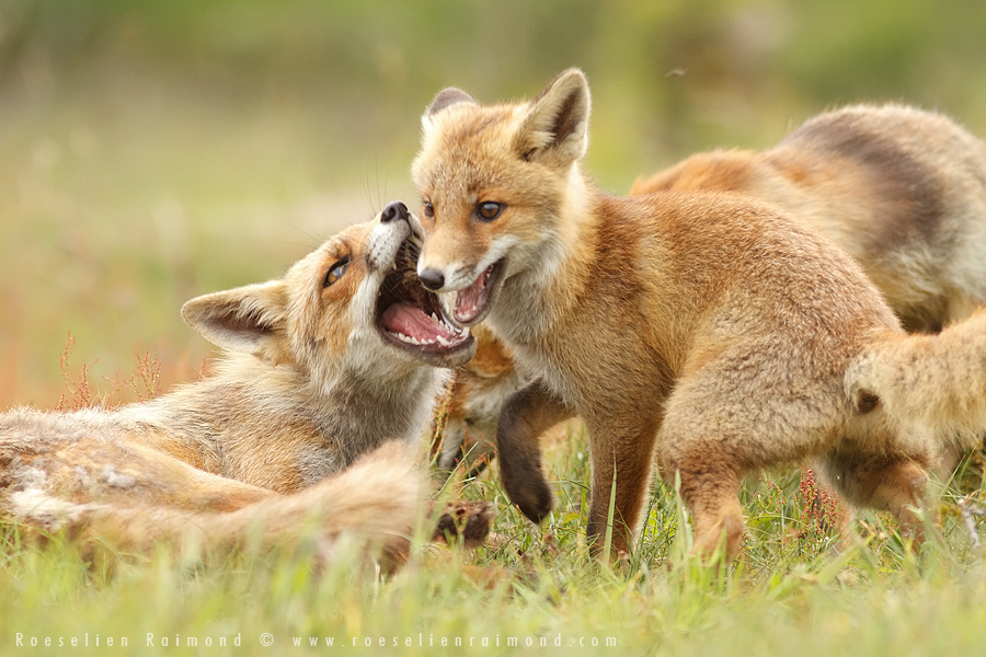 fox,kit,cub,young,young fox,red fox,vulpes vulpes,scolding,fight,arguing