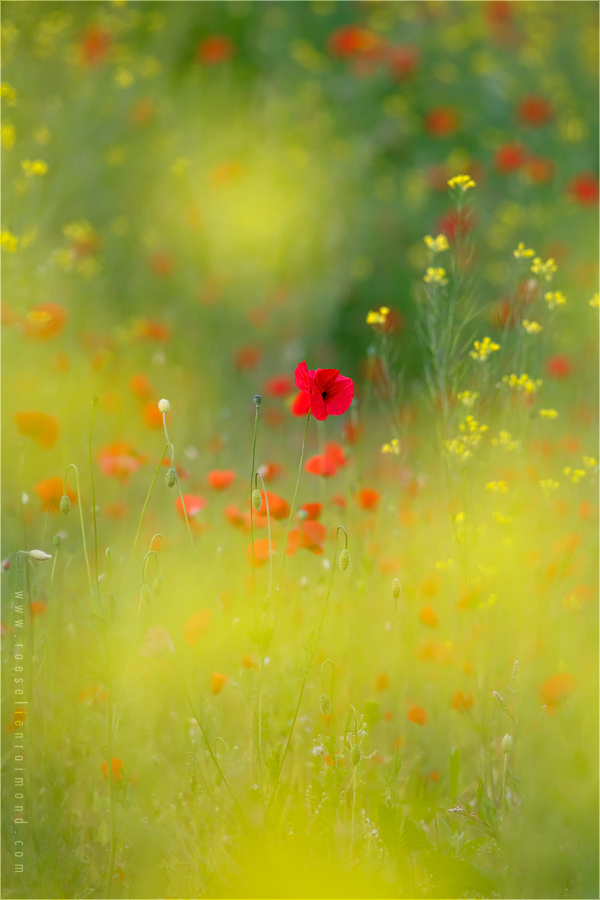 poppy poppies rapeseed colours mood atmosphere bokeh